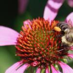 TNC KAY 080418 bee with pollen on leg_MG_9427 (1)