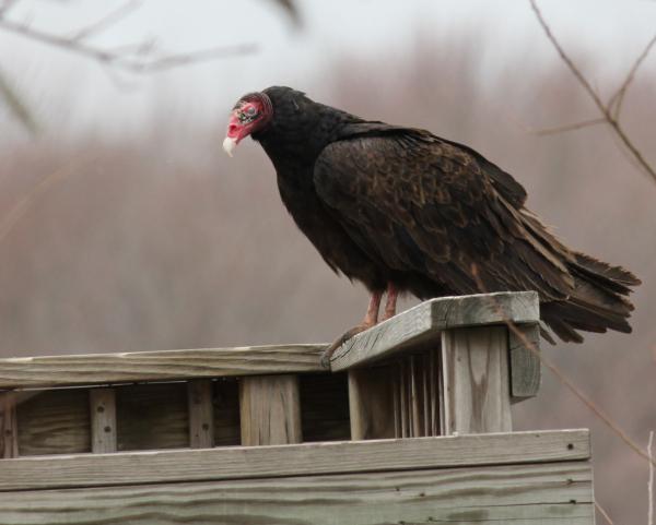 JW turkey vulture