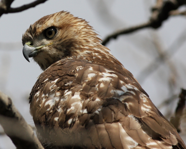 Red-tail jw