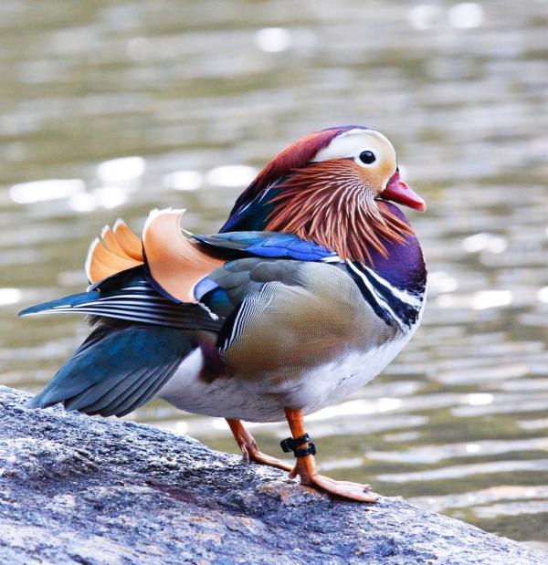 FVirrazzi Mandarin duck in Central Park 1