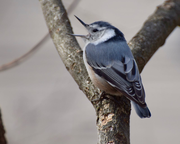 White-breasted nuthatch  Barbara Dilger3