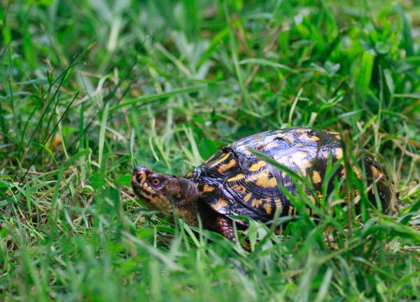 TNC KAY 080418 Eastern Box Turtle_MG_9516