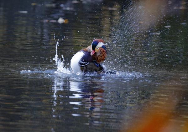 FVirrazzi Mandarin duck in Central Park 2
