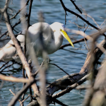 Great Egret at Mehrhof Blind JWright