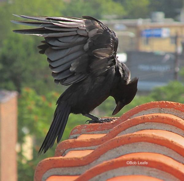 Fish crow 8-12-17 Bob Leafe