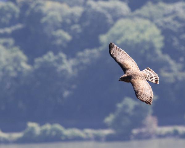 JW Broadwinged hawk at stateline lookout