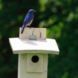 Bluebird Kay JW 051819