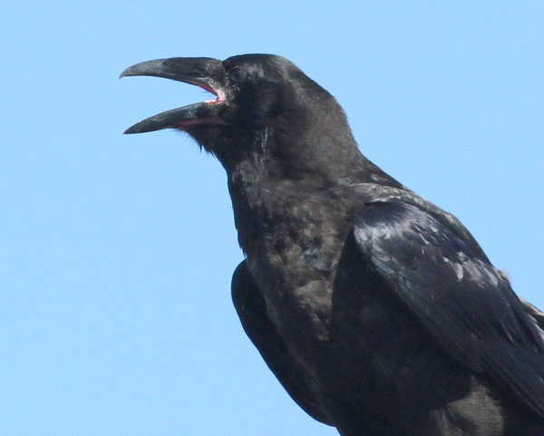 Raven IMG_0218(1)