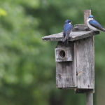 Ce tree swallows IMG_0026