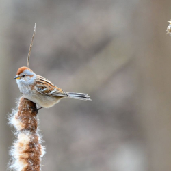SMS_5041 American Tree Sparrow