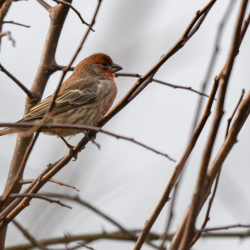 SMS_5002 House Finch
