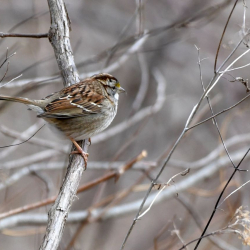 SMS_4996 White-throated Sparrow