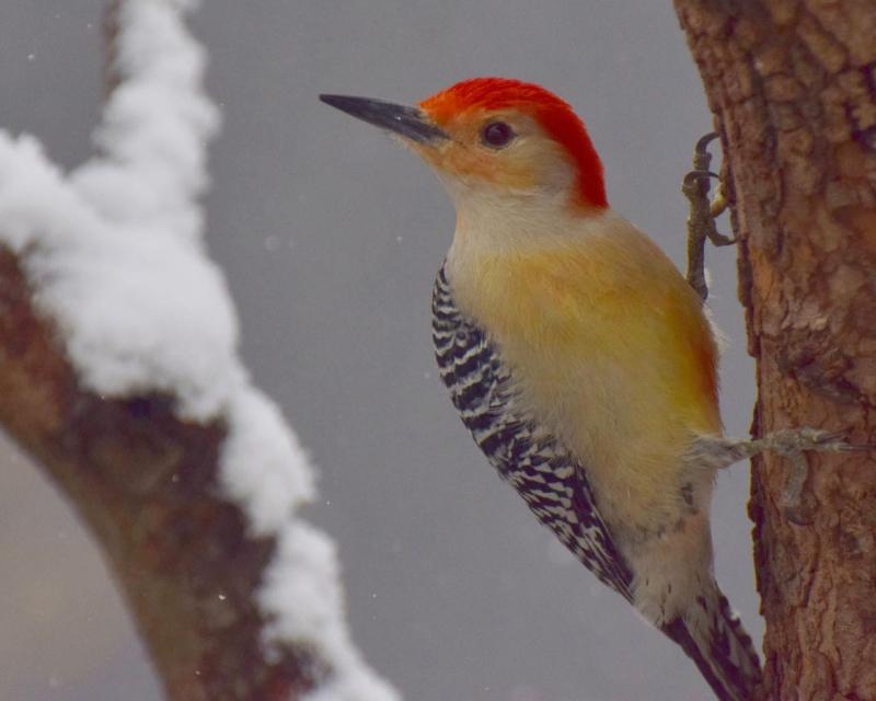 Dilger red-bellied woodpecker woodpecker  rb my yard snow      cc31017DSC_0108(1)