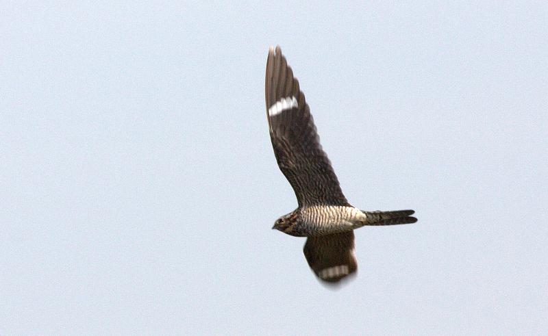 Nighthawk JWIMG_5883