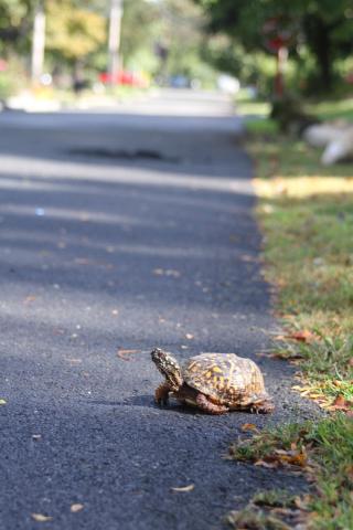 Jim Wright eastern box turtle large IIMG_0299 (1)