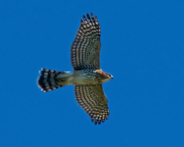 Stephen Seyboth Cooper's Hawk (1)