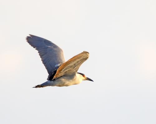 _R4A4412-CF-a-Black-Crown-Night-Heron