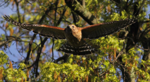 JWright Red-shouldered Hawk adult can be croppedIMG_0059