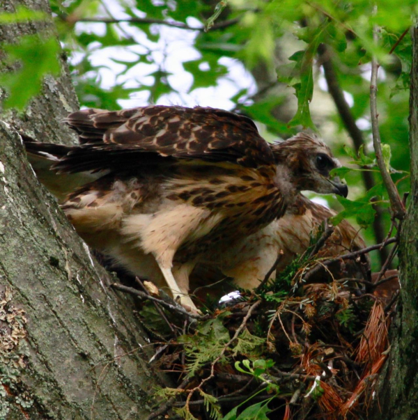 JWright Young Red-shouldered Hawk_MG_0859 (1)