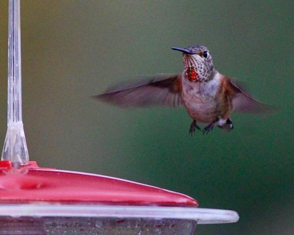 JWright rufous hummingbird  110419 07401 IMG_2381 (5)