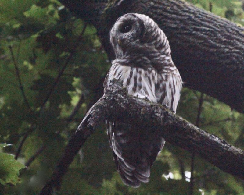 Barred Owl Jim Wright (2)