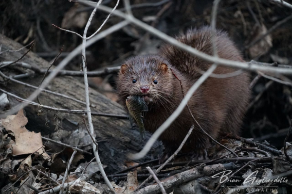 Mink eating fish