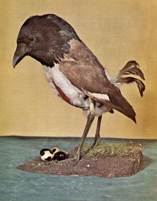 Hoodwink bird