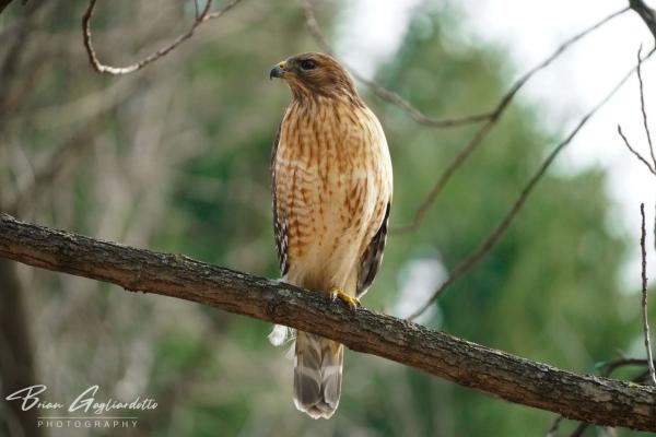 Red shouldered hawk photo