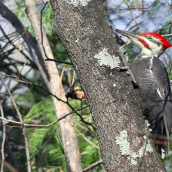 JWright Pileated_Allendale 9903 2a