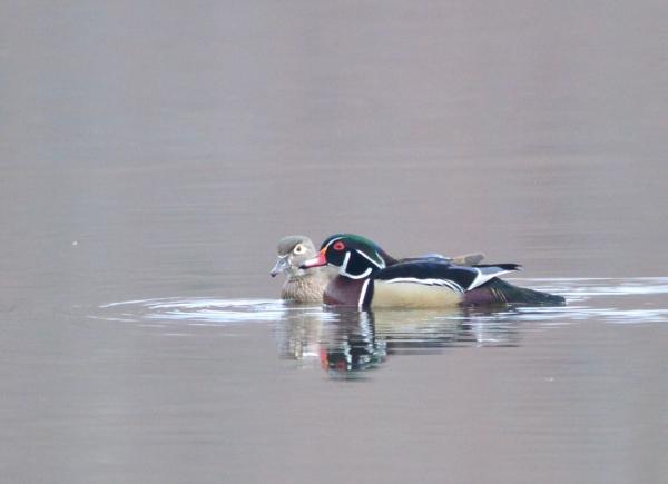 4-1-2012 Wood Duck Couple