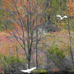 Great Egrets K take off cf 43008
