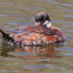 Duck Rudy cf 43008 K AAf one eye open