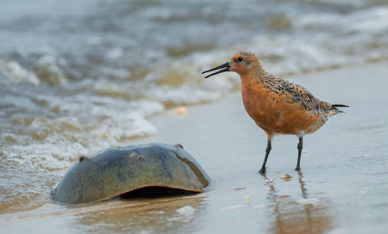 Red Knot & Horseshoe Crab  Phil Witt