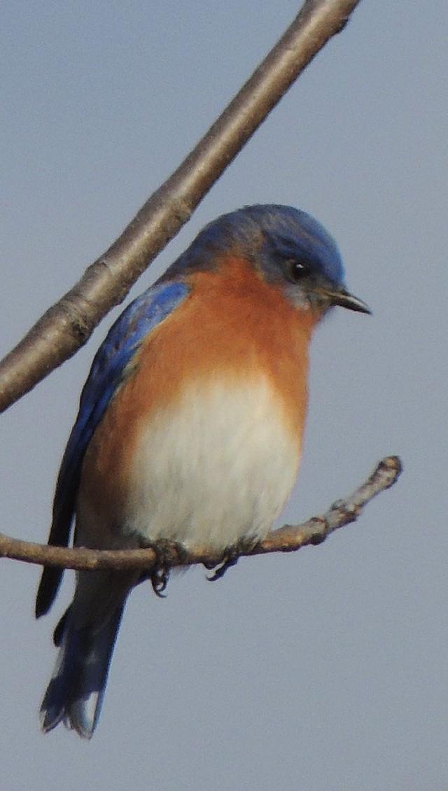 JW High Mountain Bluebird