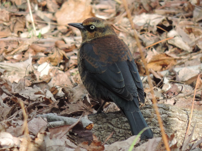 Rich Brown Rusty Blackbird DSCN1732