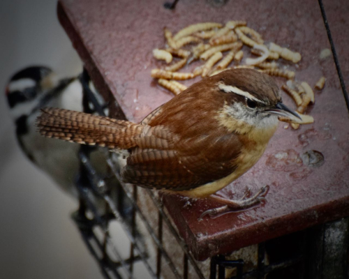 Wren  carolina and downy meal worm my feeder 21819DSC_0697