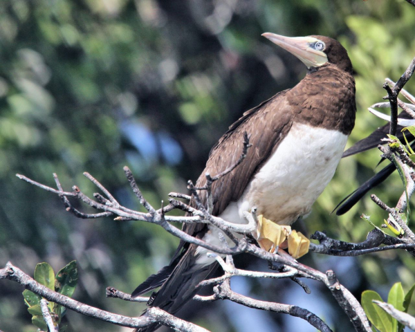 Brown Booby Kevin Watson Belize 20100208 522 (1)