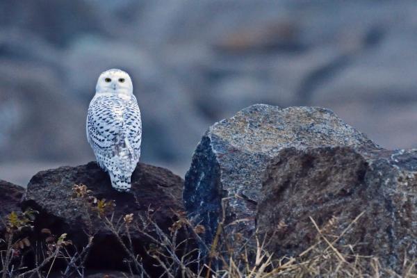 Snowy owl Paul Sullivan