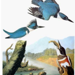 Audubon Kingfishers