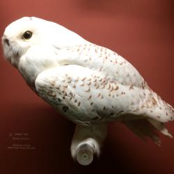 55 Owl  Snowy 2893rotate