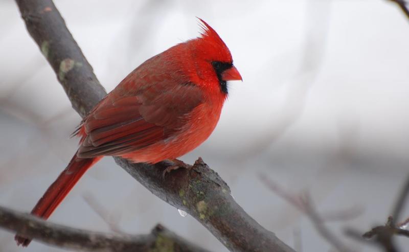 Cardinal maleDSC_0576_crop