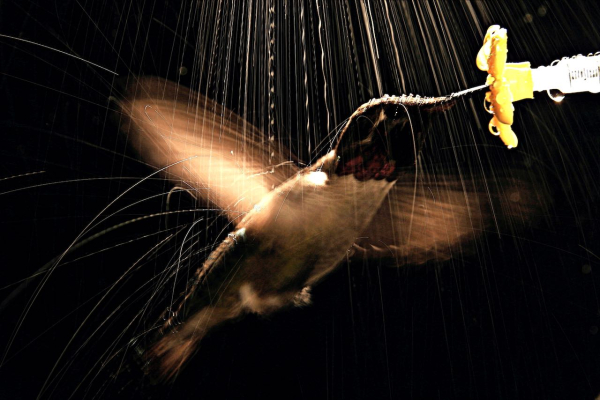Hummingbird_in_rain_VMOJ_2