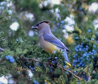 Birding - Cedar Waxwing on Red Cedar tree MP DJ 11-3-10 Dave Johnson