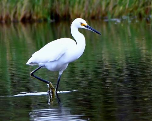 DeSantis DeKorte Snowy Egret