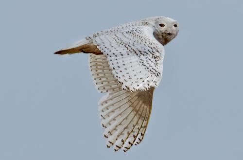 Seth Brandes Snowy Owl (1)