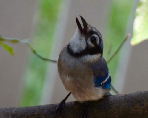 Blue jay  my yard young one DSC_0849(1)