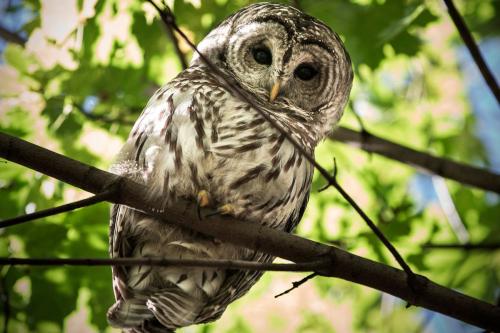 Barry the owl